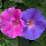 朝顔の押し花